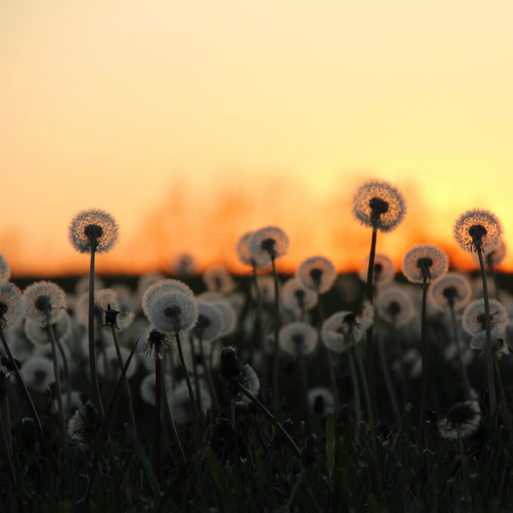 Dandelions with Sun Behind